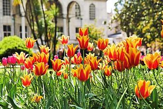Апрель - фестиваль тюльпанов в Стамбуле